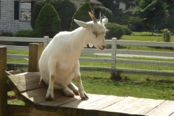An Amish goat...