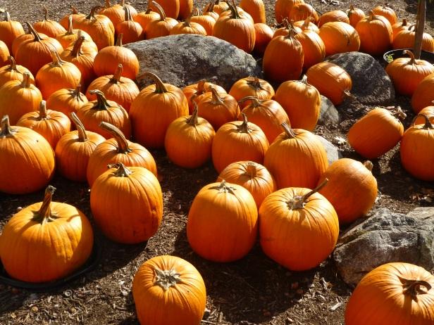 Pumpkin patch at Moulton Farm
