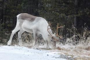 A grazing deer beside the road
