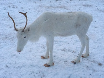 A snow white reindeer... perfectly campuflaged!