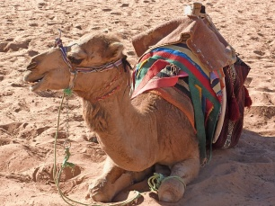 a benign looking camel
