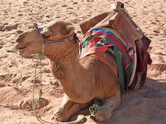 a benign looking camel