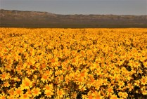 "The Carrizo Plain ""Superbloom"""