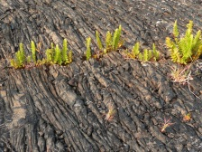New life sprouts in the lava fields