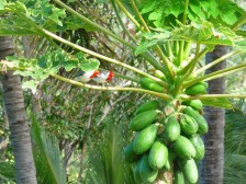 Kindred redheads wacthing the papayas ripen
