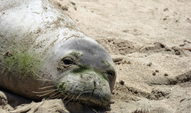 A Hawaiian monk seal, relaxing on the beach in Kaua'i