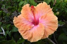 The welcoming face of Hibiscus blossoms