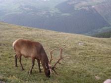 Graceful Elk in Ricky Mountain National Park, Colorado