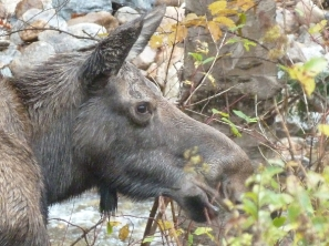 Close-up look at a moose in New Hampshire