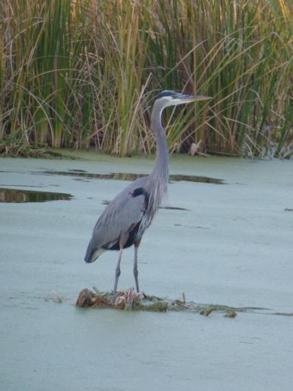 Beautiful birds seen on a swamp tour, Magnolia Plantation, SOuth Carolina