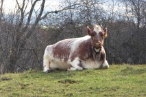 Now THAT is a regal cow!