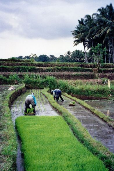 Working in the rice paddies...