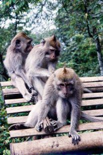 Rambunctious Monkeys
