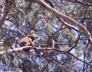 A wild koala in the trees of Kangaroo Island