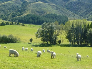 Sheep, unmustered