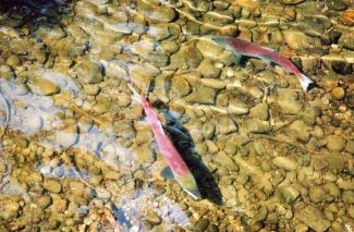 "Salmon doing their own ""road trip""..."