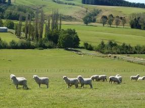 Sheep mustering?