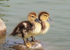 No such thing as an ugly duckling!