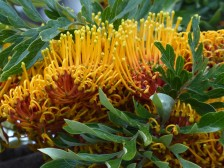 Unidentified flowering tree