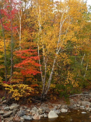 Nothing like a birch tree to show off the fall colors