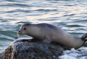A rare seal sighting at Horseneck Beach