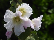 Hollyhock frowing wild