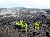 New palms sprouting in year old lava flows...