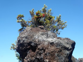 An Ohelo berry bush growing directly out of a lava rock