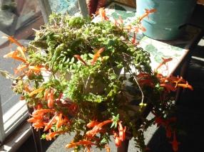 My goldfish plant in full bloom