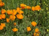 Seeing California poppies always cheers me up