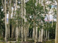 Birch forests on Boulder Mountain