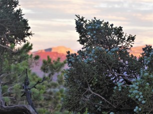 Juniper Berries at Sunset
